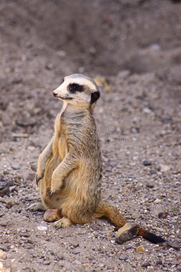 Um Meerkat no movimento foto de stock
