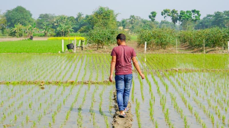Um menino está andando entre o cultivo do arroz imagem de stock royalty free