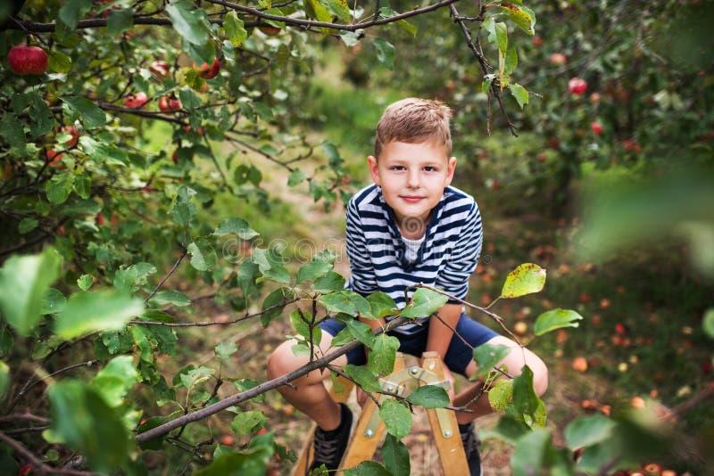 Um menino pequeno que escolhe maçãs no pomar, sentando-se em uma escada fotos de stock royalty free