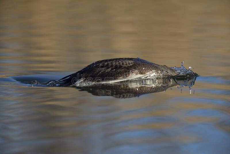 Um mergulhão-do-norte preto-throated na plumagem do inverno que mergulha em uma lagoa na cidade Utrecht os Países Baixos fotos de stock
