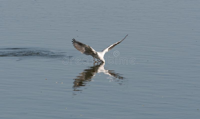 Um mergulho de gaivota de cabeça preta para pegar peixe fotos de stock