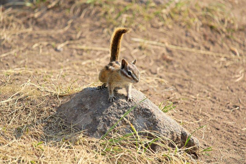 Um minúsculo menos esquilo senta-se em uma rocha imagem de stock