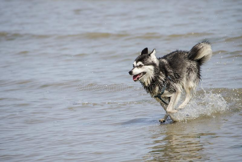 Um mini cão de puxar trenós Siberian corre através da água fotografia de stock