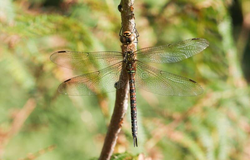 Um mixta emigrante consideravelmente fêmea de Dragonfly Aeshna do vendedor ambulante que empoleira-se em um galho fotografia de stock royalty free