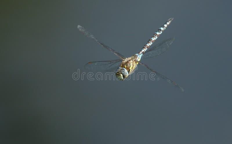 Um mixta emigrante impressionante de Dragonfly Aeshna do vendedor ambulante que voa sobre um lago no Reino Unido fotografia de stock