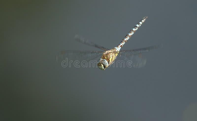 Um mixta emigrante impressionante de Dragonfly Aeshna do vendedor ambulante que voa sobre um lago no Reino Unido foto de stock royalty free