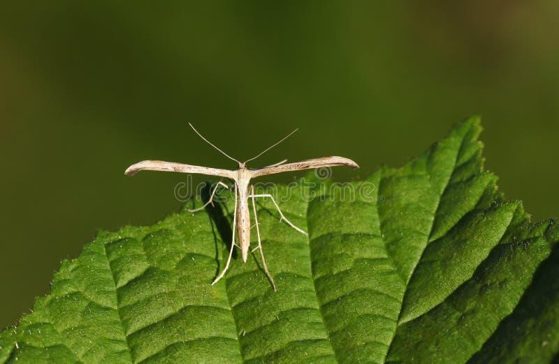 Um monodactyla comum bonito de Plume Moth Emmelina que empoleira-se em uma folha fotografia de stock