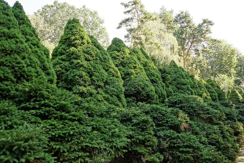 Um número de árvores verdes decorativas coníferas no parque fotografia de stock