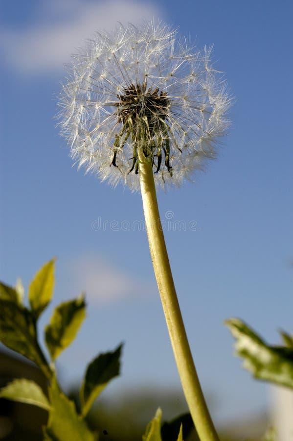 Um ?nico dente-de-le?o est? pronto para obter fundido pelo vento e para mandar sua semente voar toda ao redor para espalhar mais  fotografia de stock
