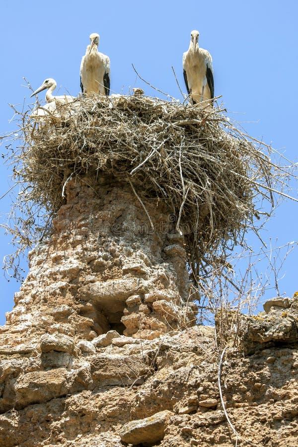 Um ninho da cegonha senta-se sobre ruínas no local fortificado medieval de Chellah imagens de stock