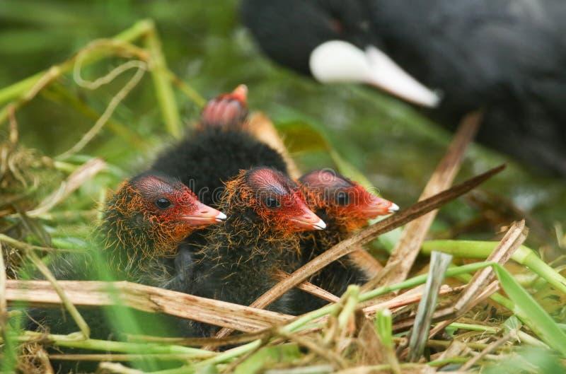 Um ninho no rio que contém o atra bonito do Fulica dos galeirões do bebê foto de stock