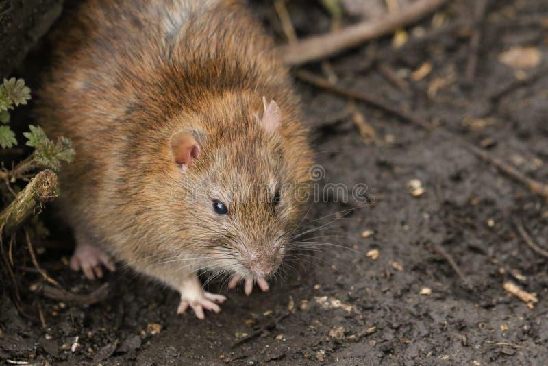 Um norvegicus do Rattus do rato de Brown que procura ao redor na terra pelo alimento foto de stock royalty free