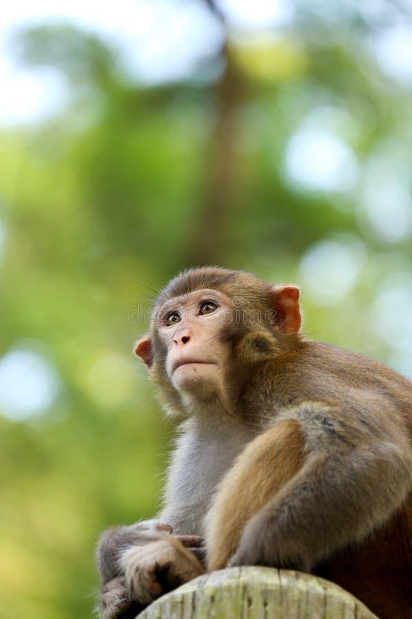 Um olhar curioso do macaco imagens de stock