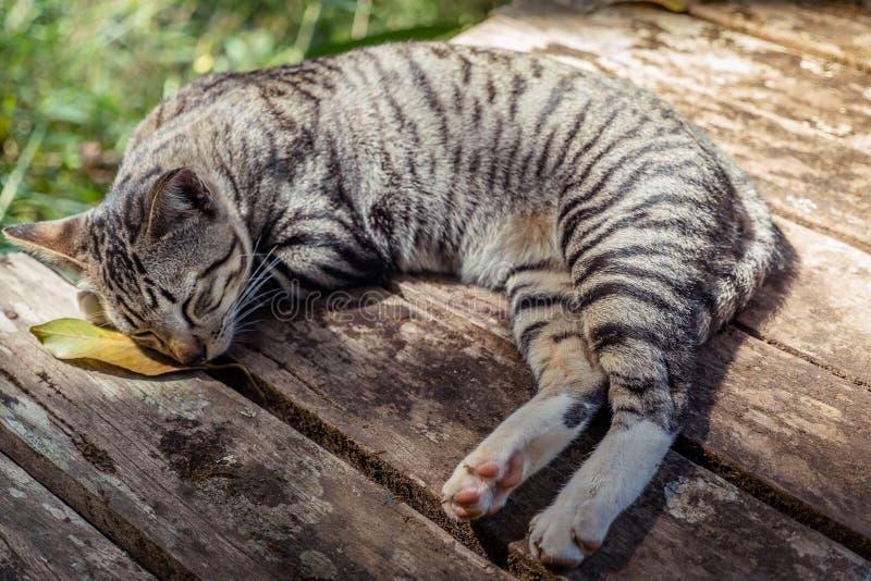Um olhar do gato como o tigre pequeno imagens de stock