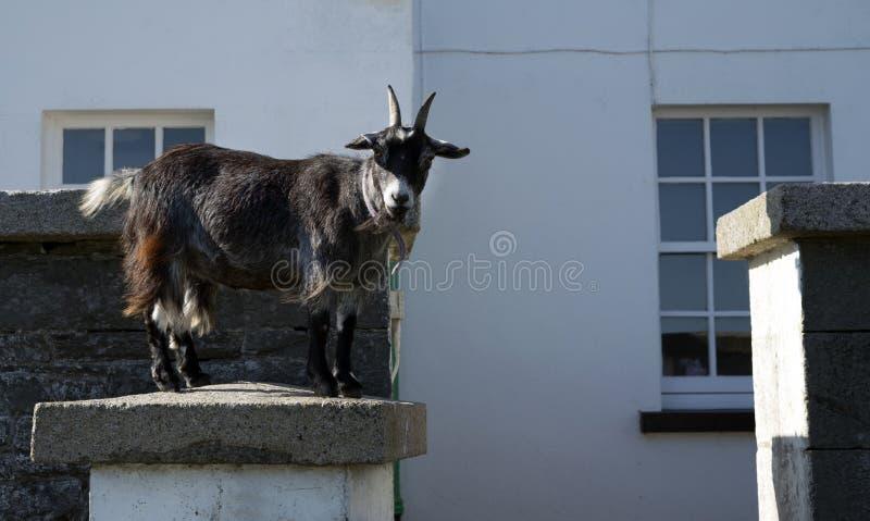 Um olhar fixo da cabra fora foto de stock royalty free