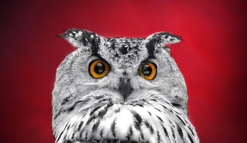 Um olhar mais atento dos olhos alaranjados de uma coruja horned em um escuro - fundo vermelho Focalizado nos olhos foto de stock