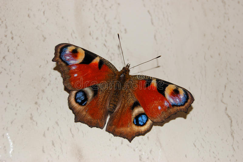 Um olho bonito do pavão da borboleta foto de stock