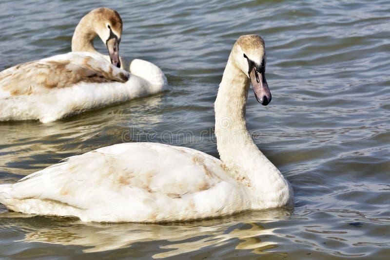 Um olor bonito do Cygnus da cisne muda fotos de stock
