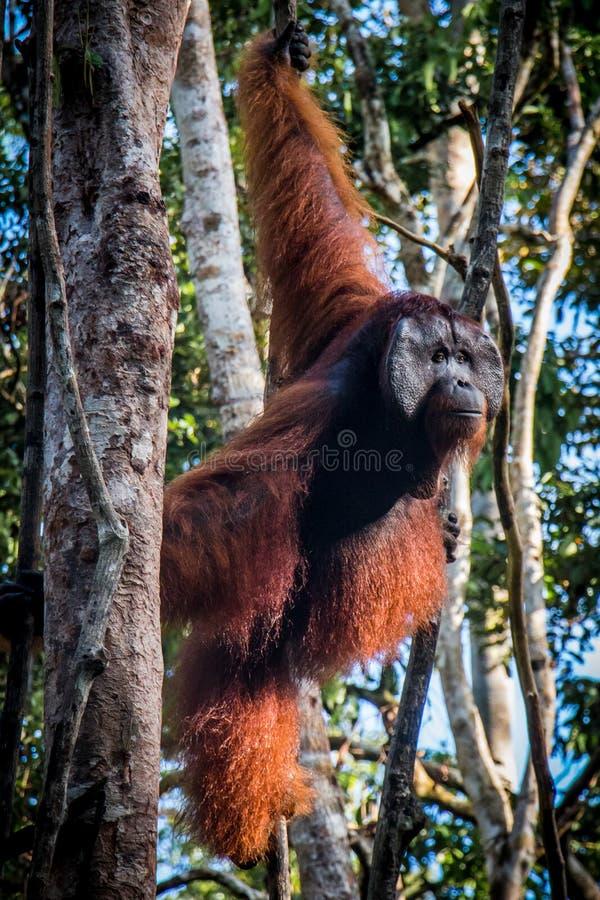 Um orangotango masculino, está o relógio em uma árvore imagens de stock