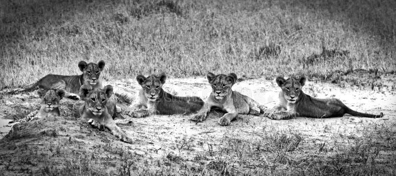 Um orgulho dos filhotes de leão do bebê que descansam em preto e branco fotografia de stock