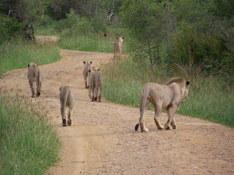 Um orgulho dos leões na estrada em Madikwe, África do Sul fotografia de stock