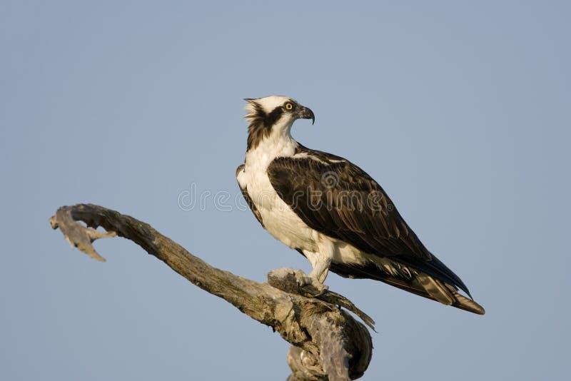 Um Osprey em uma árvore que come um peixe fotos de stock