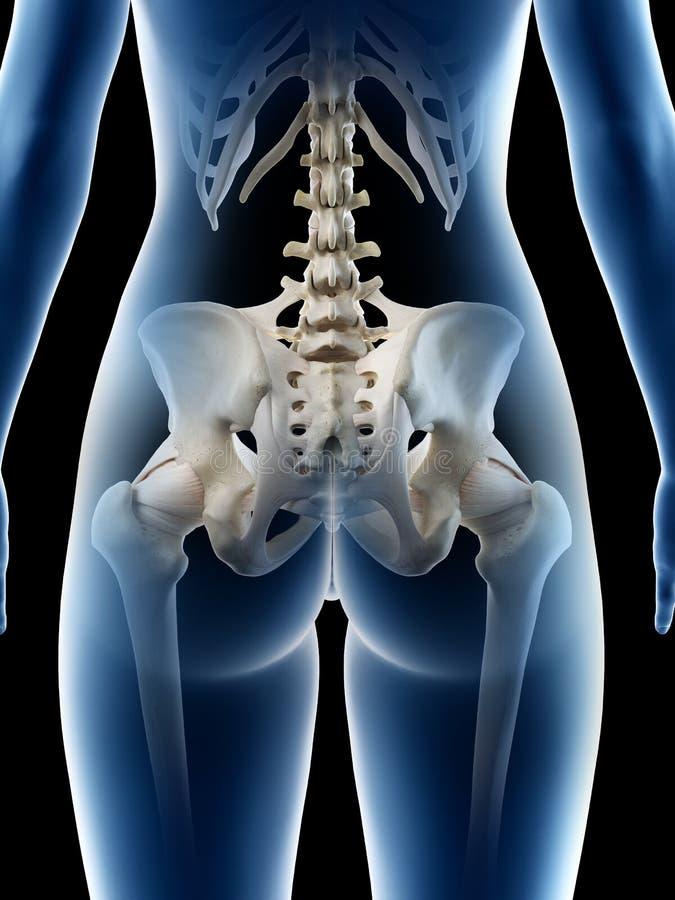 Um osso anca das fêmeas ilustração royalty free