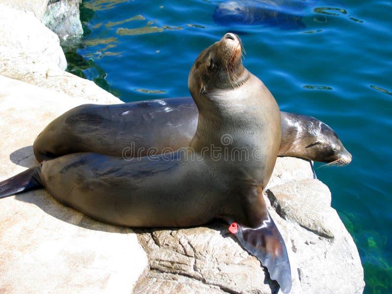 Um outro ângulo dos leões de mar pela associação Aquário do Pacífico, Long Beach, Califórnia, EUA imagem de stock