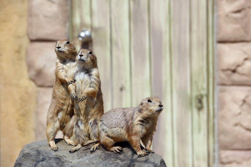 Um outro grupo de Gopher do cutie fotografia de stock