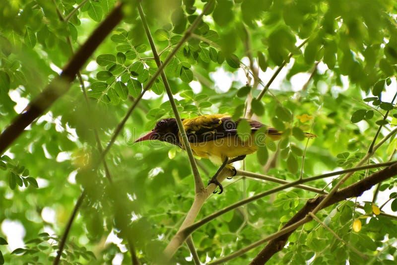 Um pássaro amarelo bonito dentro de contrastar verdes brilhanóis fotografia de stock royalty free