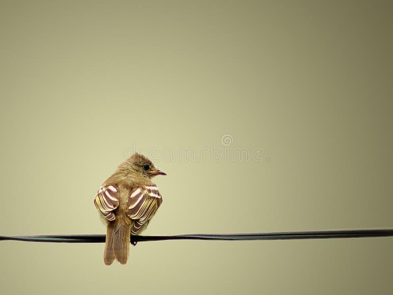 Um pássaro amarelo calmo e bonito que descansa na corda imagens de stock