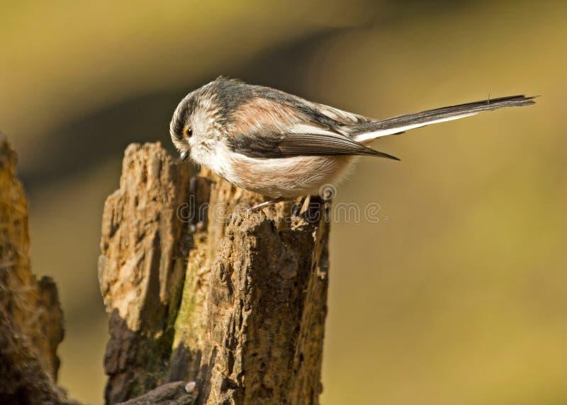Um pássaro atado longo do melharuco empoleirado em um coto de árvore fotografia de stock royalty free