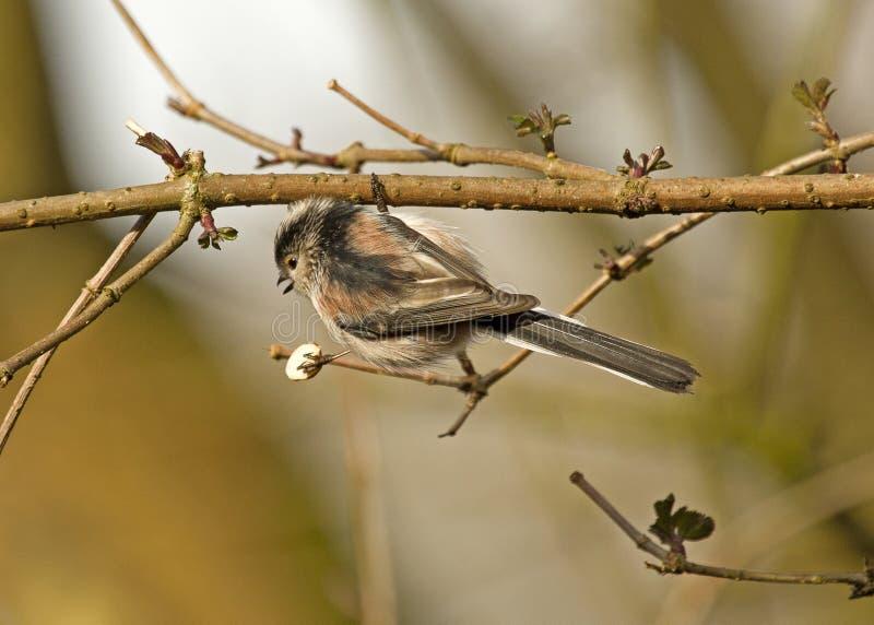 Um pássaro atado longo do melharuco empoleirado em um coto de árvore imagens de stock royalty free