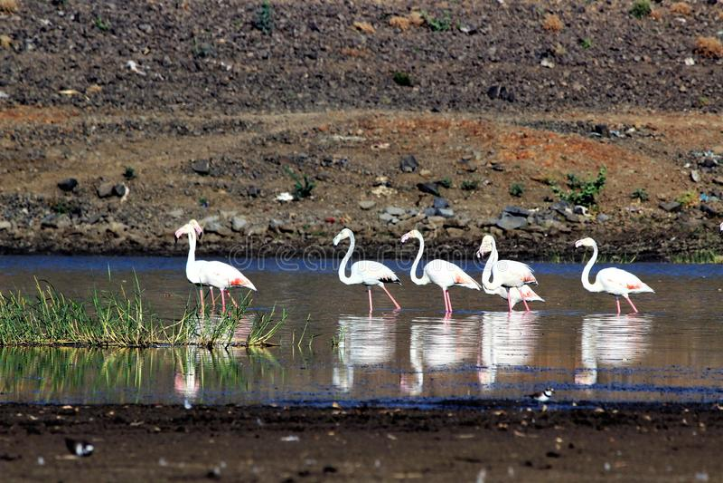 Um pássaro chamado flamingo de Grande fotografia de stock royalty free