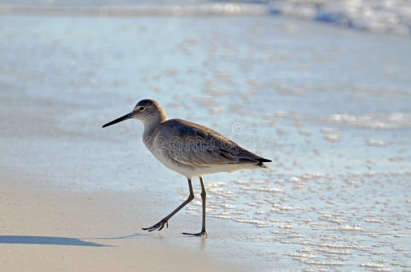 Um pássaro curto americano do borrelho do dowitcher da conta que anda ao longo da areia coberta seafoam fotos de stock royalty free