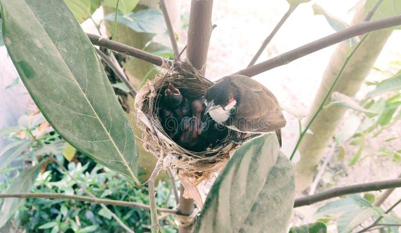 Um pássaro da mãe ciao bebês fotos de stock