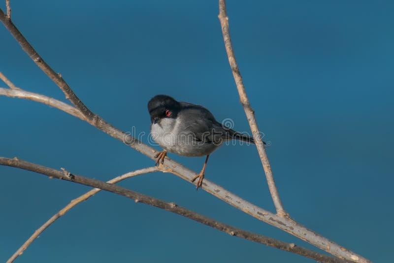 Um pássaro de cabeça negra selvagem bonito pequeno bonito foto de stock royalty free