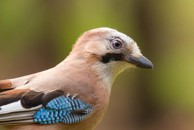 Um pássaro de Jay (glandarius do Garrulus) foto de stock royalty free