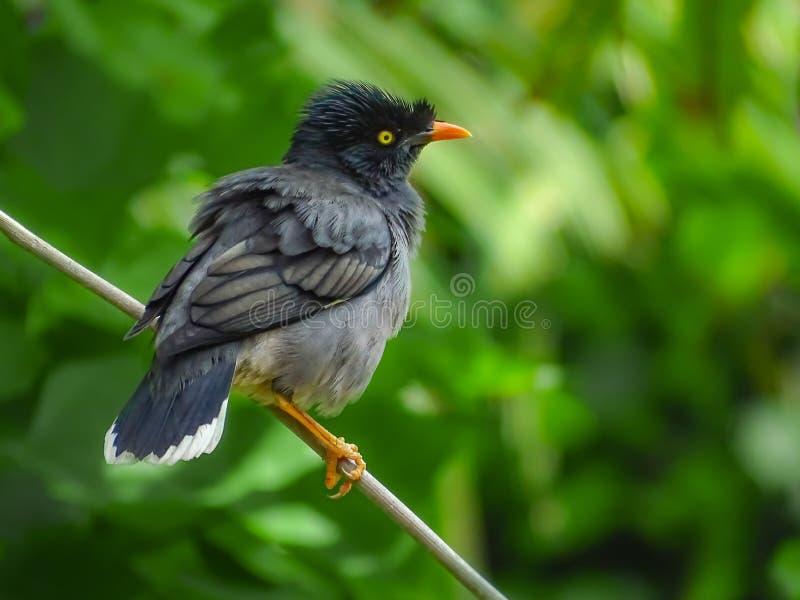 Um pássaro de myna javan bonito está tomando o resto imagens de stock