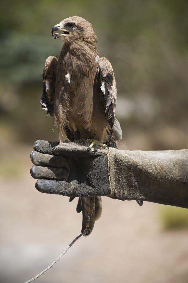 Um pássaro de rapina empoleirado na luva fotografia de stock