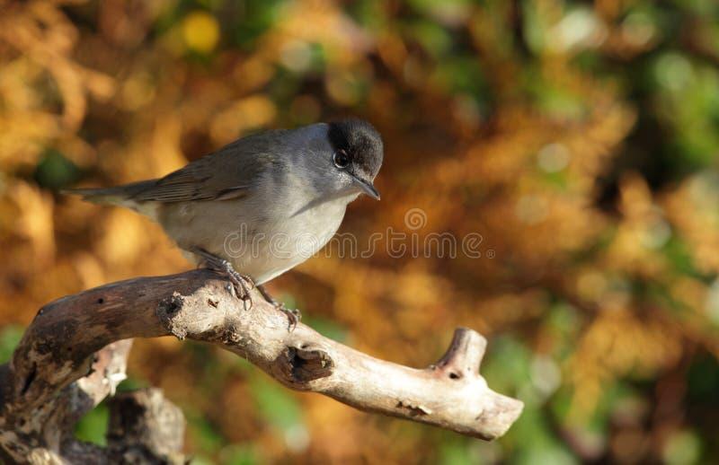 Um pássaro do blackcap. fotografia de stock