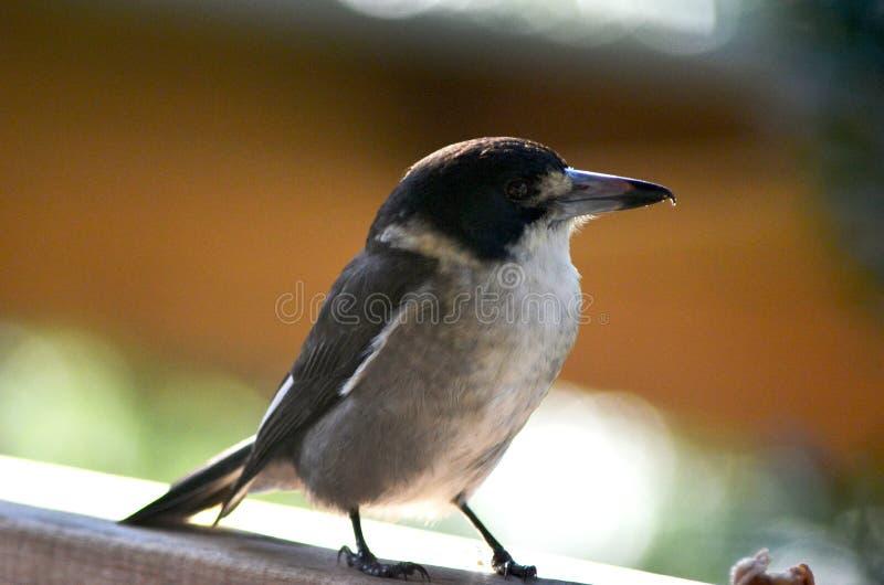Um pássaro do carniceiro que está no perfil em uma cerca fotografia de stock royalty free