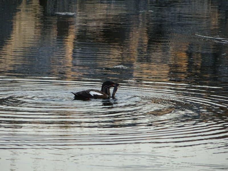 Um pássaro do reare está indo alimentar seus pequenos com este peixe no arquipélago pelo Golfo da Finlândia imagem de stock