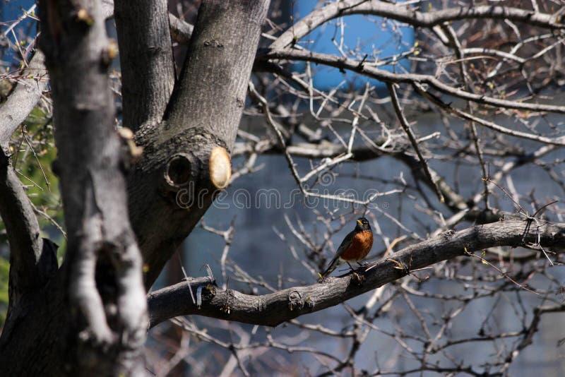 Um pássaro empoleirou-se em uma árvore após a ruptura do inverno foto de stock