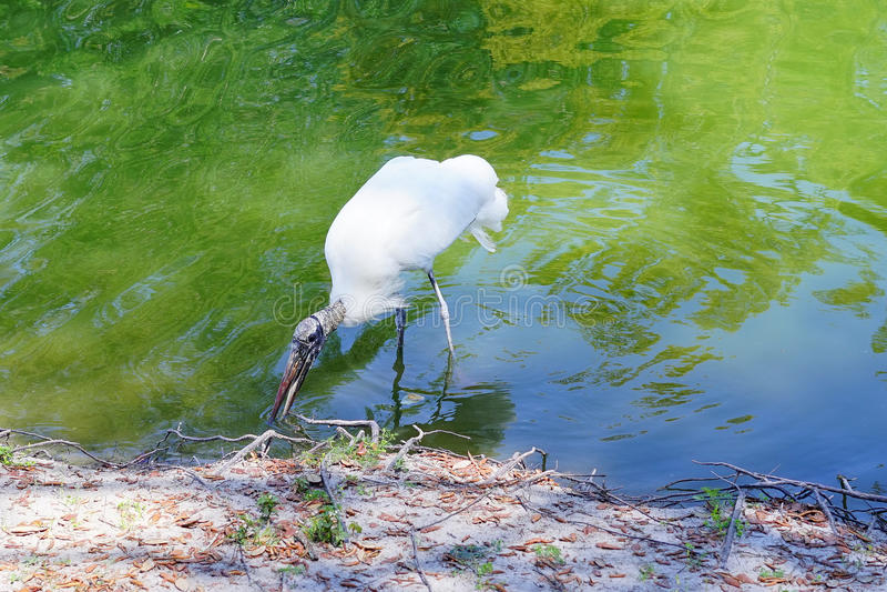 Um pássaro feio está procurando o alimento imagens de stock