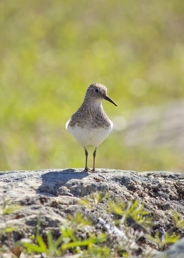 Um pássaro na rocha imagem de stock royalty free