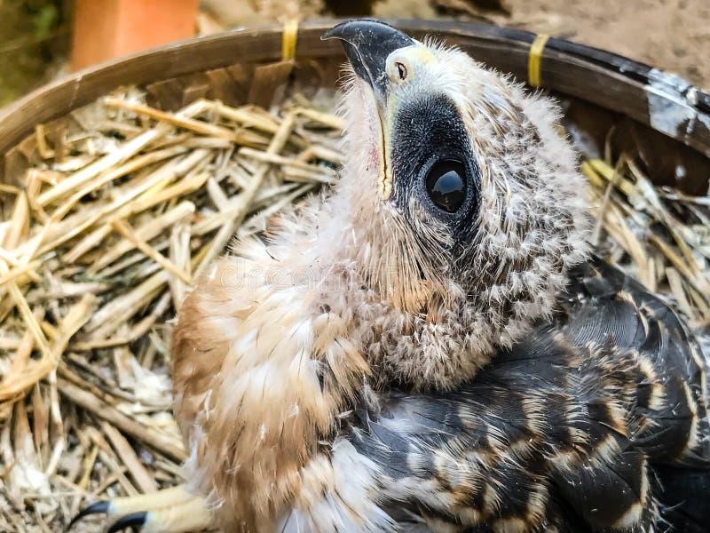 Um pássaro novo do falcão foto de stock royalty free