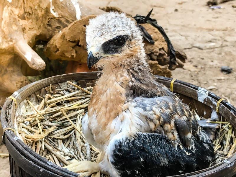 Um pássaro novo do falcão fotos de stock royalty free