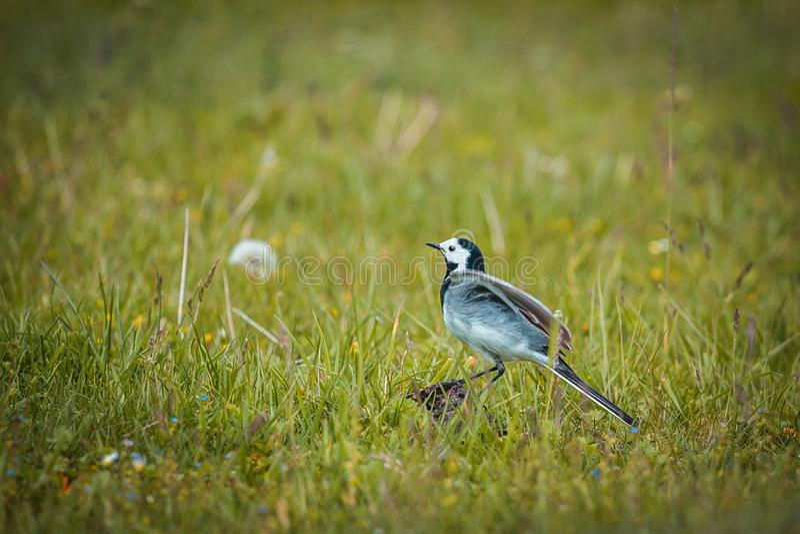 Um pássaro pequeno, alvéola branca, Motacilla alba, andando em um gramado verde Prepara??o voar imagens de stock royalty free