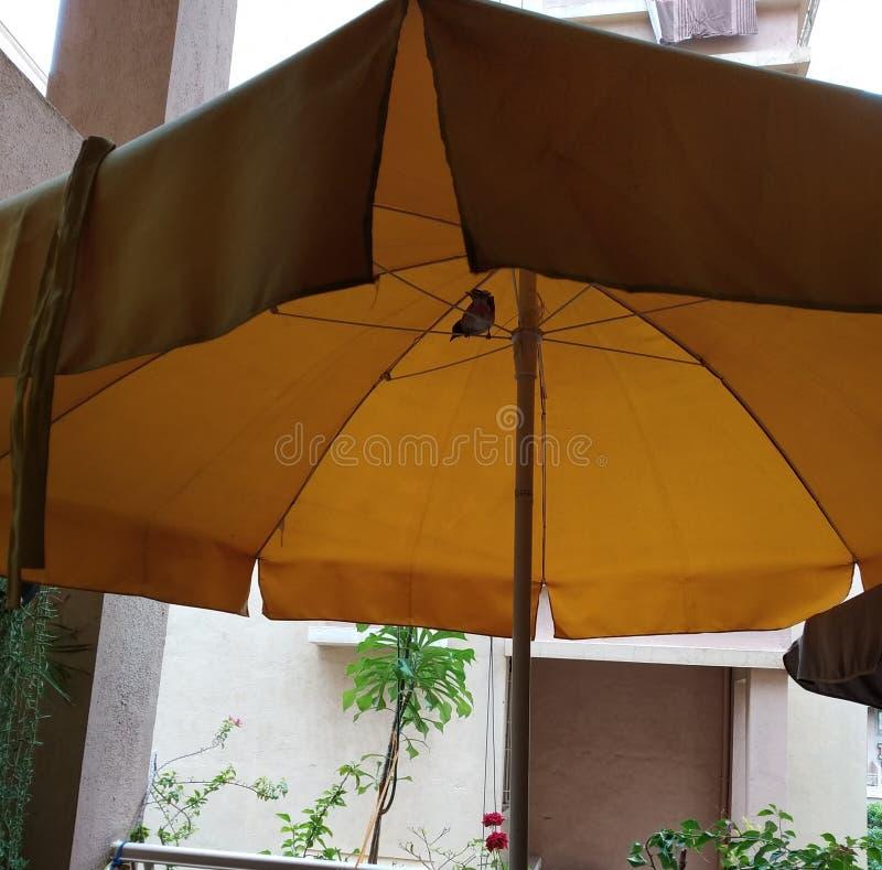 Um pássaro pequeno do bulbul que faz o ninho sob o guarda-chuva no jardim do balcão imagens de stock
